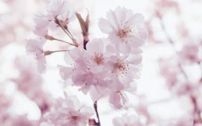 Le printemps et les cerisiers en fleurs